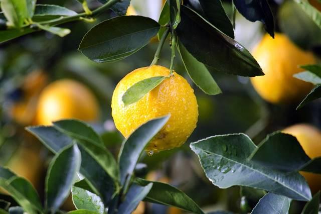 Zumo de limón para limpiar la sangre